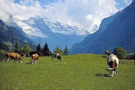 Những chú bò sữa nhởn nhơ trên cao nguyên Mộc Châu