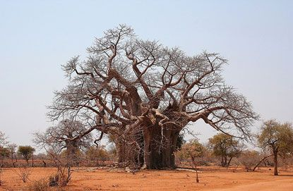 Bao báp tại Zimbabwe