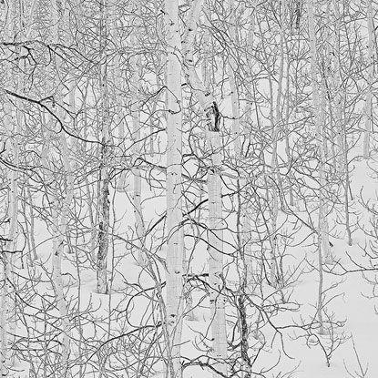Quần thể cây dương vào mùa đông