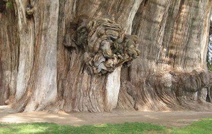 """Cây bách khổng lồ còn có tên """"Tree of Life"""""""