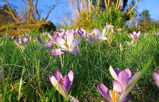 Bạn có thể gặp những bông hoa nghệ tây ở Anh.