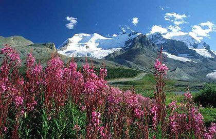 Hoa dại khoe sắc rực rỡ vào tháng 6 hàng năm ở Alberta, Canada.