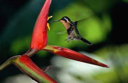 Các loài hoa nhiệt đới ở Costa Rica.
