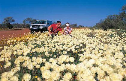 Những dải hoa ven đường, phía nam Australia. Hoa đẹp nhất từ tháng 7 đến tháng 11 hàng năm.