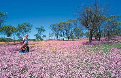 Tím biếc cánh đồng hoa ở Khu bảo tồn Coalseam, Australia.