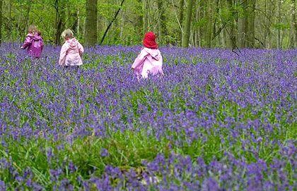 Đừng bỏ qua những loài hoa dại ở gần nhà. Loài hoa chuông ở Anh chiếm tới 20% số hoa trên thế giới.