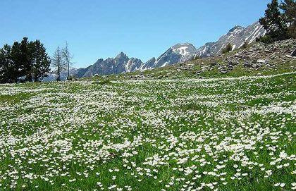 Hoa mao lương ở vùng núi Alpes, miền nam nước Pháp.