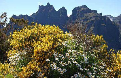 Hoa vàng rực ở Madeira, Bồ Đào Nha, nở rộ vào tháng 5.