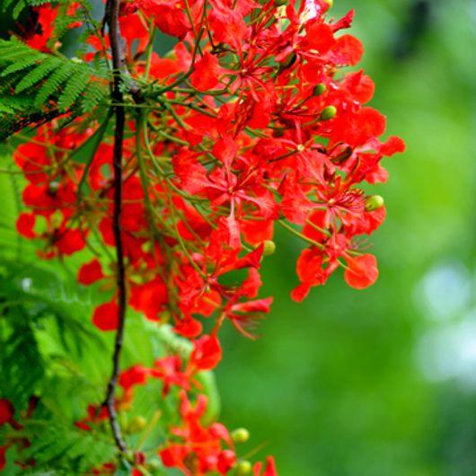 Hoa Phượng nở ở Hà Nội