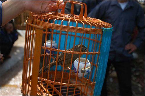 Con chim hoạ my này có dáng khá đẹp , hót hay nên có giá bán gần một triệu đồng