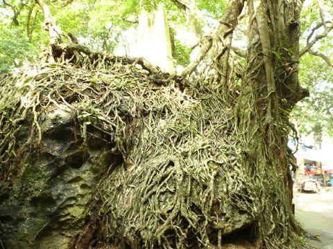 Cây cổ thụ cũng nhiều năm tuổi, dễ và thân bám chắc lên đá, tạo nên những hình thù độc đáo.