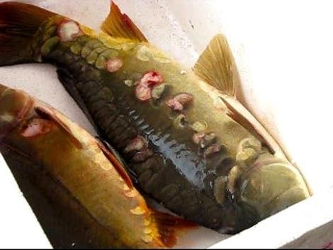 """Cá chép... mọc """"hoa"""" đánh bắt ở Hồ Tây."""