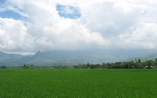 """Lúa đang thì """"con gái"""" tỏa hương trên cánh đồng Mường Lò"""