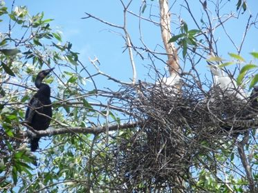 Tổ chim trên ngọn tràm