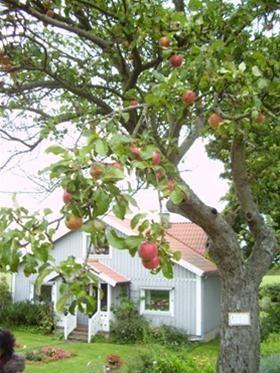 Cây táo trĩu quả trước một ngôi nhà