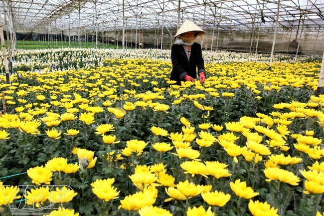 thai phien lang hoa truyen thong cua da lat 13 Chương trình hưởng ứng lễ hội hoa Đà Lạt   Làng hoa Thái Phiên
