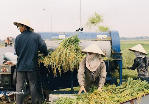 Hình ảnh: Mùa gặt đã về số 6