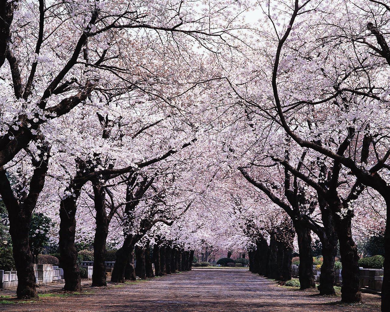 Lễ hội hoa anh đào tuyệt đẹp ở Nhật Bản 2