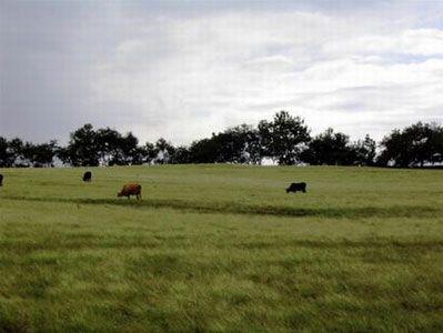 Bò đủng đỉnh gặm cỏ trên những cánh đồng mênh mông của vùng Los Santos