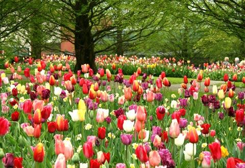 NHỮNG CÁNH ĐỒNG HOA Ruc-ro-sac-mau-hoa-tulip-o-ha-lan-2