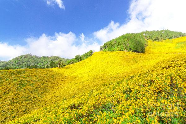Tháng du lịch Đà Lạt - rực rỡ mùa hoa dã quỳ